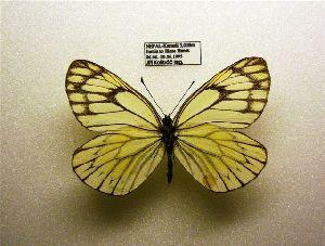 (Aporia soracta - ASOR-NPKGS2)  @11 [ ] CreativeCommons - Attribution Non-Commercial Share-Alike (2012) Unspecified ZEB