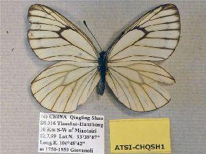 (Aporia tsillingica - ATSI-CHQSH1)  @11 [ ] CreativeCommons - Attribution Non-Commercial Share-Alike (2012) Unspecified ZEB