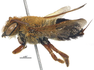 (Megachile Lophanthedon sp1 - 06743A08-THA)  @11 [ ] CreativeCommons - Attribution Non-Commercial Share-Alike (2016) BIO Photography Group Biodiversity Institute of Ontario