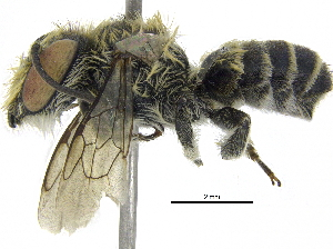 (Megachile sp. aff. tranquilla - 06744D11-THA)  @14 [ ] CreativeCommons - Attribution Non-Commercial Share-Alike (2016) BIO Photography Group Biodiversity Institute of Ontario