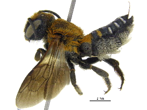 (Megachile umbripennis - 06744F10-THA)  @14 [ ] CreativeCommons - Attribution Non-Commercial Share-Alike (2016) CBG Photography Group Centre for Biodiversity Genomics