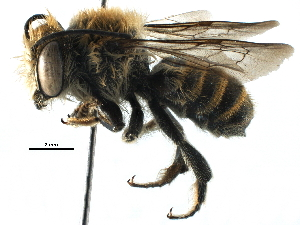 (Megachile afflanata - 06744G07-THA)  @15 [ ] CreativeCommons - Attribution Non-Commercial Share-Alike (2016) BIO Photography Group Biodiversity Institute of Ontario