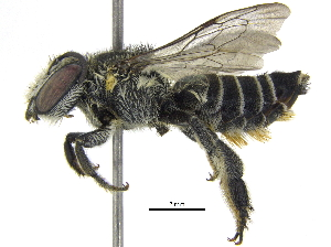 (Megachile sp. aff. tranquilla - 06744G09-THA)  @14 [ ] CreativeCommons - Attribution Non-Commercial Share-Alike (2016) CBG Photography Group Centre for Biodiversity Genomics