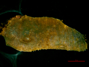 (Lobophylliidae - DEK-139)  @13 [ ] Copyright (2015) Yerushalmy M. IOLR