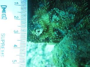 (Mussidae - IUI-019)  @11 [ ] Copyright (c) (2015) Yerushalmy M. IOLR