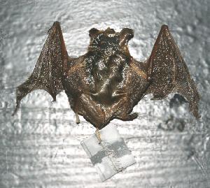 (Myotis aurascens - ZMMU S-189143)  @13 [ ] Copyright (2012) Sergei Kruskop Zoological Museum of Moscow University