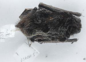 ( - ZMMU S-190958)  @12 [ ] Copyright (2013) Sergei Kruskop Zoological Museum of Moscow University