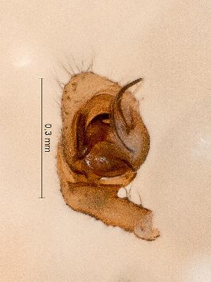 (Gonatium paradoxum - SMNK-ARA 08805)  @11 [ ] (c)  GBOL-Team ZFMK Staatliches Museum für Naturkunde Karlsruhe