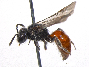 (Sphecodes minor - BIOUG05530-F08)  @14 [ ] CreativeCommons - Attribution Non-Commercial Share-Alike (2012) BIO Photography Group Biodiversity Institute of Ontario