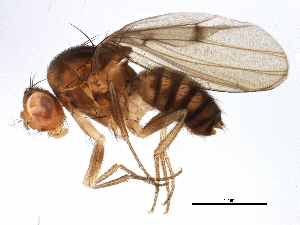 (Drosophila rellima - BIOUG16148-F04)  @15 [ ] CreativeCommons - Attribution Non-Commercial Share-Alike (2014) BIO Photography Group Biodiversity Institute of Ontario