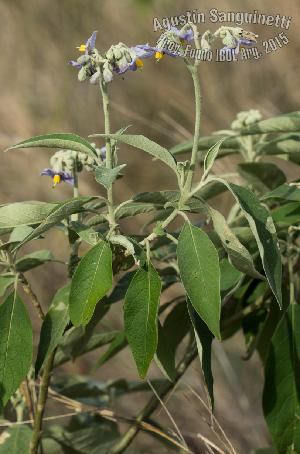 (Solanum granulosum-leprosum - SanguinettiA0271)  @11 [ ] by-nc-nd (2017) Agustín Sanguinetti Agustín Sanguinetti
