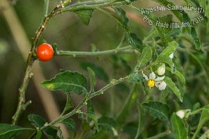 (Solanum pseudocapsicum - SanguinettiA0272)  @11 [ ] by-nc-nd (2017) Agustín Sanguinetti Agustín Sanguinetti