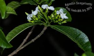 (Tabernaemontana catharinensis - SanguinettiA0231)  @11 [ ] by-nc-nd (2017) Agustín Sanguinetti Agustín Sanguinetti