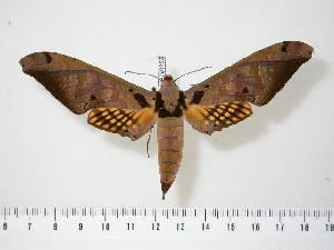 (Adhemarius tigrina - BC-Hax0252)  @15 [ ] Copyright (2010) Jean Haxaire Research Collection of Jean Haxaire