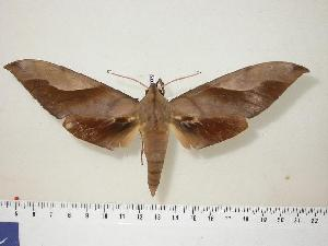 (Sphingidae - BC-Hax0559)  @16 [ ] Copyright (2010) Jean Haxaire Research Collection of Jean Haxaire