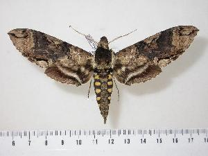 (Manduca morelia - BC-Hax1552)  @15 [ ] Copyright (2010) Unspecified Research Collection of Jean Haxaire