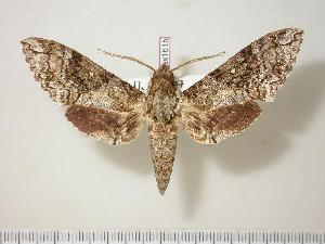 (Manduca brontes - BC-Hax1615)  @14 [ ] Copyright (2010) Jean Haxaire Research Collection of Jean Haxaire