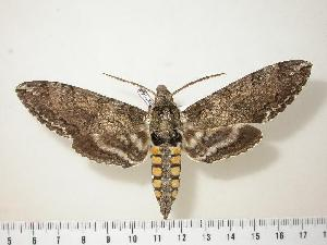 (Manduca sexta - BC-Hax1644)  @14 [ ] Copyright (2010) Unspecified Research Collection of Jean Haxaire