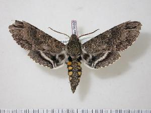 (Manduca diffissa mesosa - BC-Hax1680)  @14 [ ] Copyright (2010) Unspecified Research Collection of Jean Haxaire