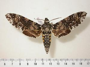 (Manduca leucospila - BC-Hax1730)  @15 [ ] Copyright (2010) Unspecified Research Collection of Jean Haxaire