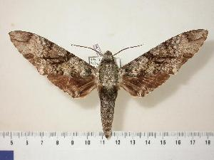 (Manduca huascara - BC-Hax1796)  @15 [ ] Copyright (2010) Unspecified Research Collection of Jean Haxaire