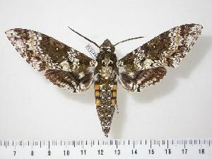 (Manduca rustica harterti - BC-Hax1834)  @15 [ ] Copyright (2010) Unspecified Research Collection of Jean Haxaire