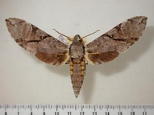 (Manduca prestoni - BC-Hax1881)  @15 [ ] Copyright (2010) Unspecified Research Collection of Jean Haxaire