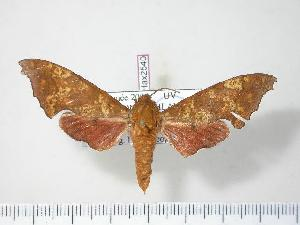 (Sphingidae - BC-Hax2540)  @16 [ ] Copyright (2010) Jean Haxaire Research Collection of Jean Haxaire