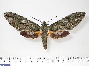 (Amphonyx mephisto - BC-Hax3108)  @15 [ ] Copyright (2010) Jean Haxaire Research Collection of Jean Haxaire