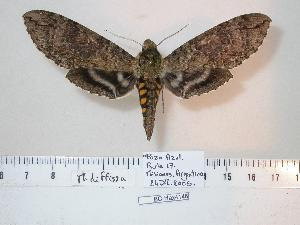 (Manduca diffissa - BC-Hax4146)  @15 [ ] Copyright (2010) Unspecified Research Collection of Jean Haxaire