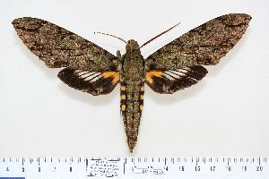 (Amphonyx lucifer - BC-Hax4170)  @15 [ ] Copyright (2010) Jean Haxaire Research Collection of Jean Haxaire