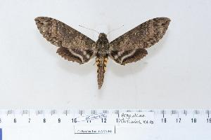 (Manduca diffissa - BC-Hax4292)  @15 [ ] Copyright (2010) Unspecified Research Collection of Jean Haxaire
