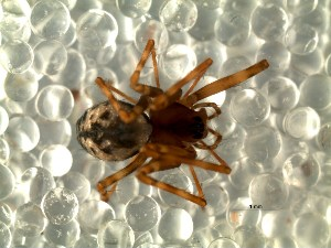 (Notholepthyphantes - DLP-4062)  @11 [ ] Copyright (2016) Daniela Prina Museo Argentino de Ciencias Naturales