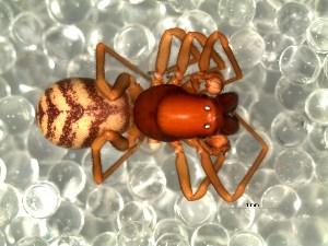 (Mecysmaucheniidae - DLP-4089)  @11 [ ] Copyright (2016) Daniela Prina Museo Argentino de Ciencias Naturales