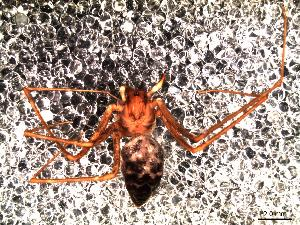 (Drymusidae - IFM-0080)  @11 [ ] Copyright (2014) Ivan L.F. Magalhaes Museo Argentino de Ciencias Naturales