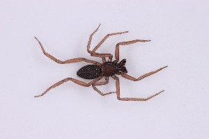 (Trochanteriidae - MJR-1659)  @11 [ ] Unspecified (default): All Rights Reserved  Unspecified MACN