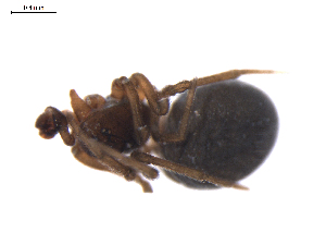 (Diplocephalus barbiger - BIOUG01969-H03)  @12 [ ] Copyright  G. Blagoev 2012 Unspecified