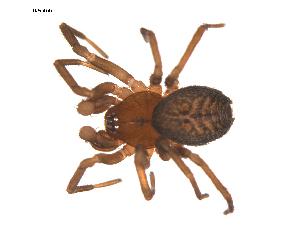 (Antistea - ALASKA-03-D06)  @14 [ ] CreativeCommons - Attribution Non-Commercial Share-Alike (2010) Gergin Blagoev, Biodiversity Intitute of Ontario Biodiversity Institute of Ontario
