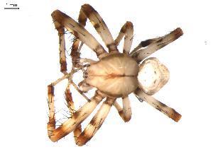 (Araneus trifolium - BIOUG00521-G05)  @14 [ ] Copyright  G. Blagoev 2010 Unspecified