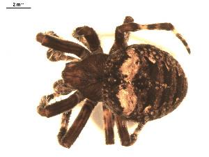 (Araneus saevus - BIOUG00524-H09)  @14 [ ] Copyright  G. Blagoev 2010 Unspecified