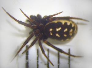 (Steatoda albomaculata - STEP-253)  @13 [ ] Unspecified (default): All Rights Reserved  Unspecified Unspecified
