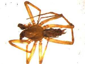 (Histopona - 10BGSPI01-B04)  @13 [ ] CreativeCommons - Attribution Non-Commercial Share-Alike (2010) Gergin Blagoev, Biodiversity Intitute of Ontario Biodiversity Institute of Ontario