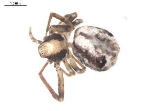 (Philodromus pulchellus - BIOUG00160-H05)  @12 [ ] Copyright  G. Blagoev 2010 Unspecified