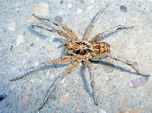 (Araneae - CCDB-10206-F05)  @16 [ ] Copyright  A. Nadolny 2011 Unspecified