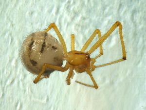 (Theridion melanostictum - BIOUG01629-H11)  @13 [ ] Copyright  N. Fritzen 2011 Unspecified