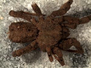 (Paratropididae - STD1N5L002)  @11 [ ] CreativeCommons - Attribution  Facundo M. Labarque Museo Argentino de Ciencias Naturales
