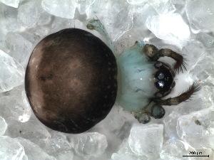(Baalzebub - SCD1DHR006)  @13 [ ] by - Creative Commons - Attribution  Facundo M. Labarque Museo Argentino de Ciencias Naturales