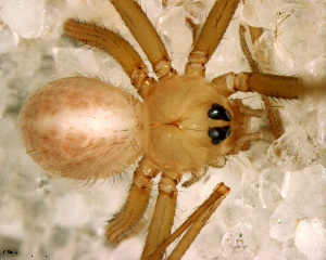 (Anopsicus - SFC1N7L007)  @13 [ ] by-nc-sa - Creative Commons - Attribution Non-Comm Share-Alike (2010) Facundo M. Labarque Museo Argentino de Ciencias Naturales