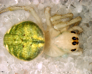 (Araneus sp. 1 FML - SFU2NAH010)  @12 [ ] CreativeCommons - Attribution Non-Commercial Share-Alike (2010) Facundo M. Labarque Museo Argentino de Ciencias Naturales