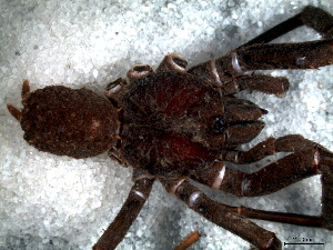 (Paratropididae - STD1N4H002)  @11 [ ] CreativeCommons - Attribution  Author: Facundo M. Labarque - MACN-Argentina Museo Argentino de Ciencias Naturales